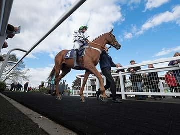A low angle of a horse and jockey being lead in parade ring